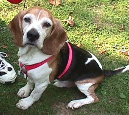 beagle gabe